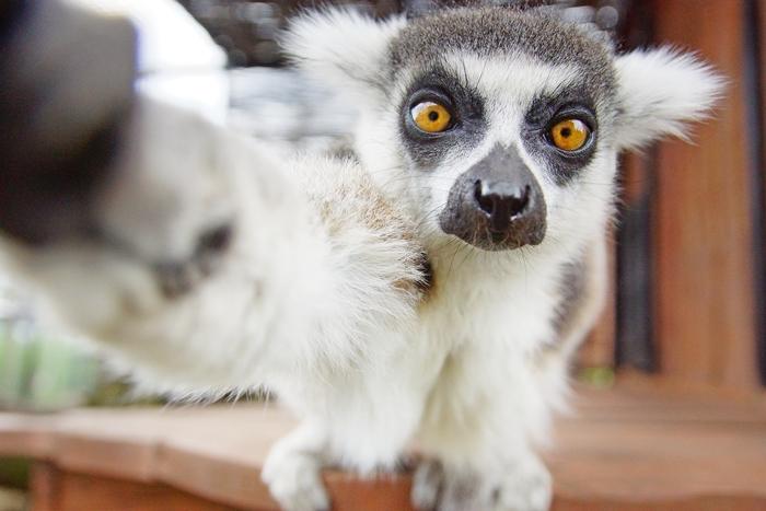 Kurt Lemur