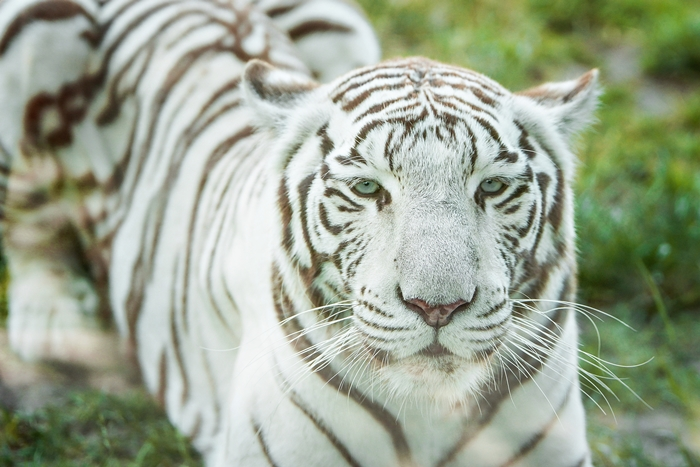 Tygrys Bengalski Biały