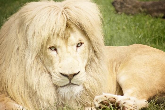 Lew Biały